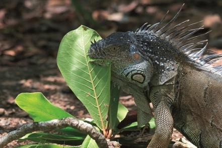 Leguán - typické ostrovní zvíře