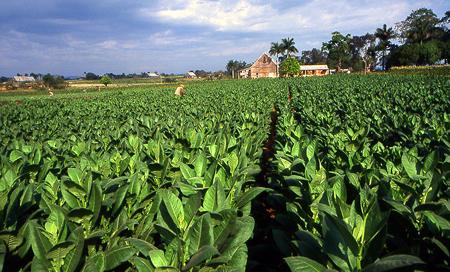 Kuba, tabáková plantáž